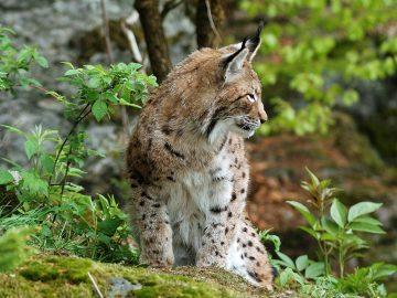 Lince-foto-Serv-Foreste-e-fauna-1_imagefullwide