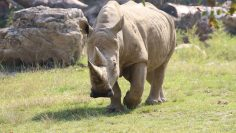 rinoceronte-toby